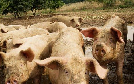 Prasata sežrala farmáře za živa