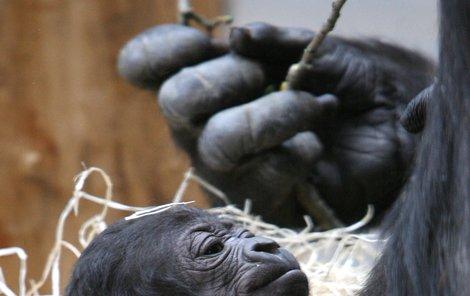 Nová gorilka v pražské zoo.