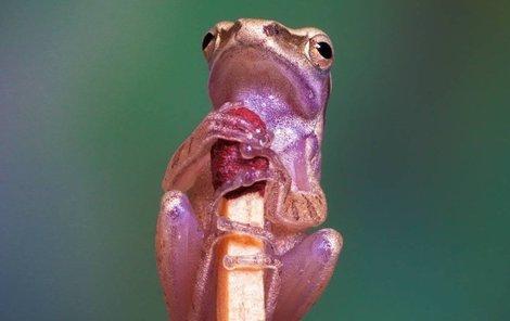 Žabí drobeček si vystačí se sirkou.