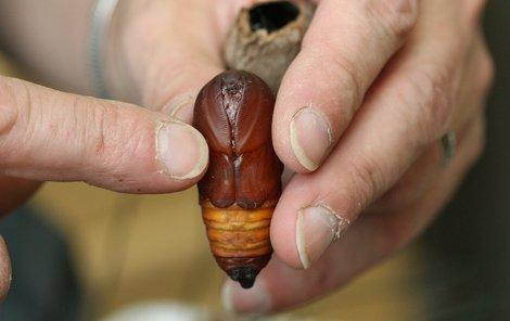 Nevzhledné larvy se v kuklách přemění v pestrobarevnou krásu.