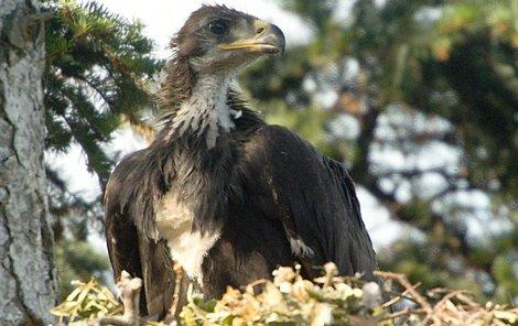 Mládě orla skalního je před zvědavci dobře ukryto.