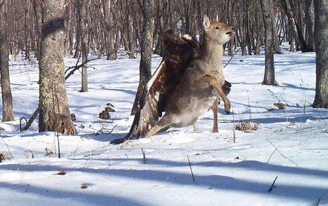 Orel se na jelena snesl zezadu.