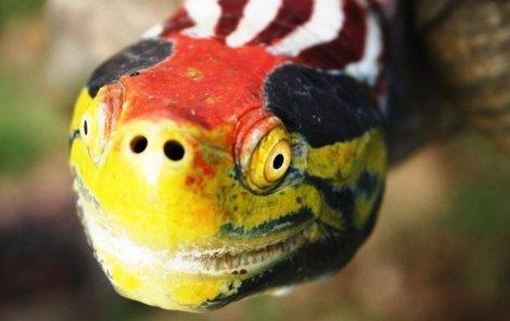 Želva batagur kachunga patří ke kriticky ohroženým druhům.