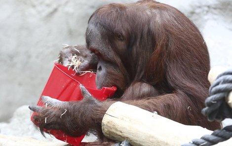 Roztomilá orangutaní rodinka v akci!