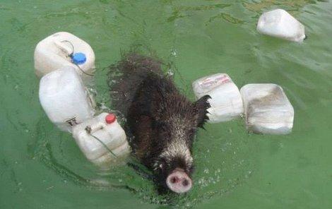 Divočák marně zápasil s vodou v bazénu.