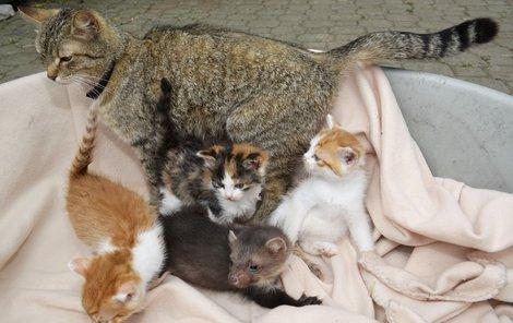 Kočka Číča Navarra měla koťátka a mládě kuny přijala za své.