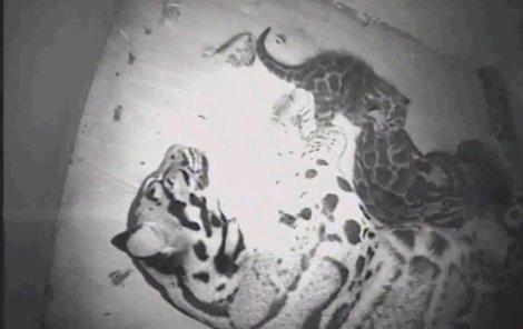 Mláďata s matkou se zdržují v porodním boxu, jejich pohyb snímají kamery.