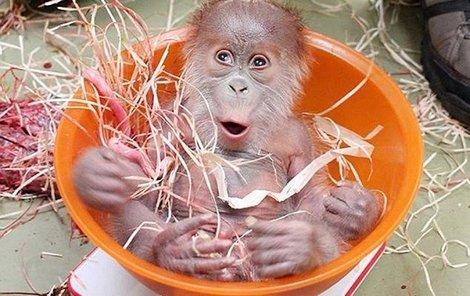 Orangutánek se umí neuvěřitelně tlemit.