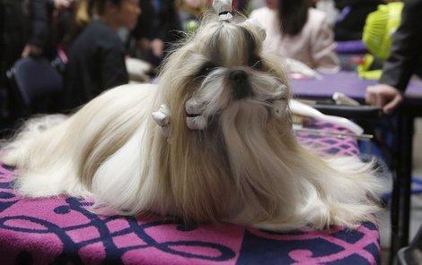 Vítěz soutěže Westminster Kennel Club Dog Show.