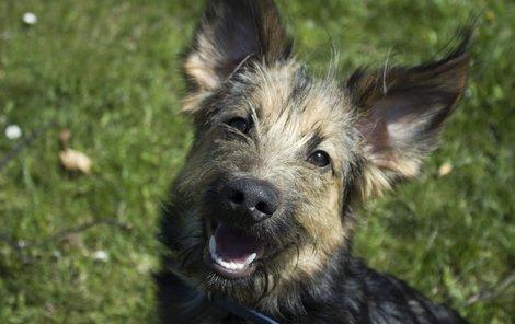 Lucy je mix německého ovčáka a knírače, ale nebude velká.