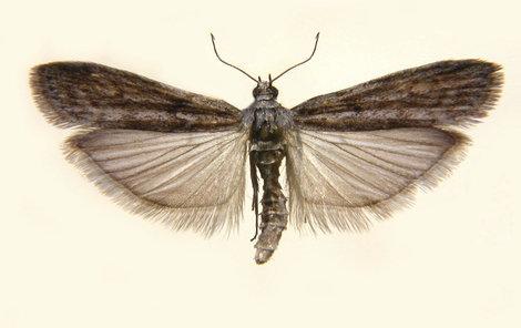 Malý motýlek způsobuje velké problémy