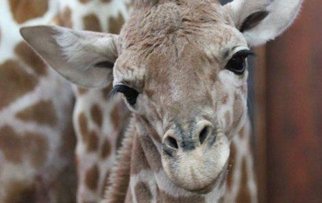 Mrtvá žirafí samička z Brna.