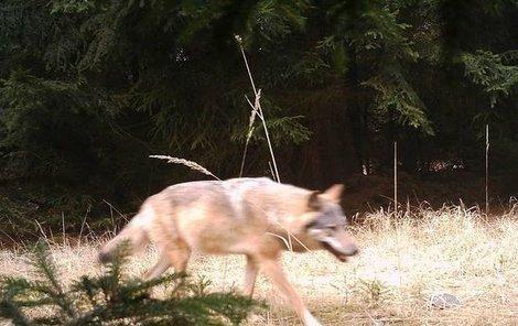 V oblasti Máchova jezera se vlci cítí jako doma.