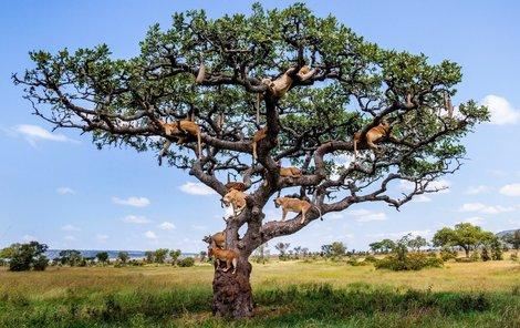 Na tomto stromě zřejmě rostou lvi...