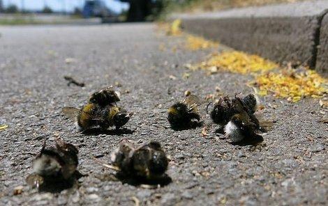 Uhynulí čmeláci pod korunami lip.