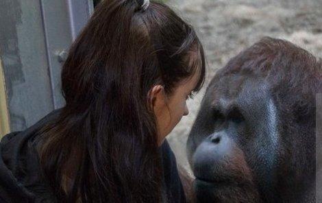 Vilný orangutan se přes sklo sápe na Hollie, přítelkyni britského vědce.