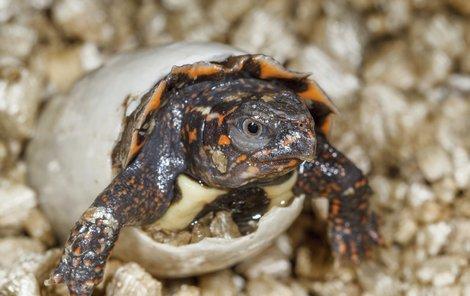 Vzácné želvičky váží jen 7 gramů!