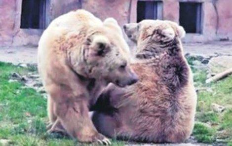Medvědí námluvy v přímém přenosu.