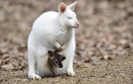 Raritou je i bílá samička klokana rudokrkého s hnědým mládětem.