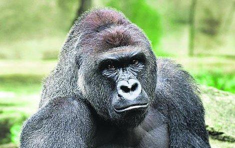 Gorilák Harambe musel zemřít kvůli nepozornosti matky, která neuhlídala své dítě.