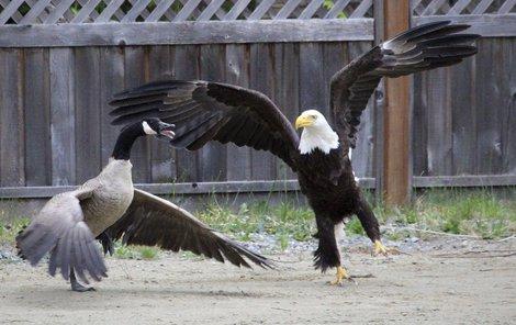 Husa provokovala s otevřeným zobákem.