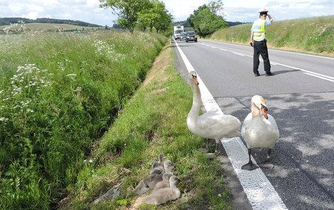 Po silnici do Záhoří u Písku se vydala na výlet osmičlenná labutí rodinka.