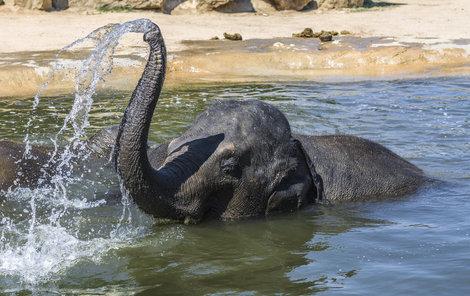 Sloni vodu zbožňují. Koupelí ale procedura boje proti horku nekončí. Když se pořádně namočí a vydovádějí, posypou se pískem a prachem. Vrstvička prachu pak od jejich těla odkloní sluneční paprsky.