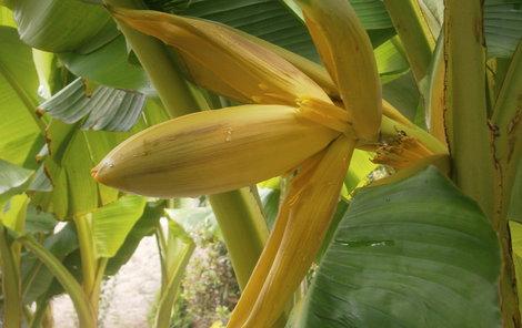 Banánovníky své pěstitele odměnily exotickým květem.