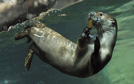 Novým přírůstkem zoo je vydří samec Bonifác.