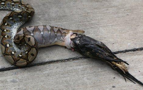 Druhého kohouta had do sebe nedostal.