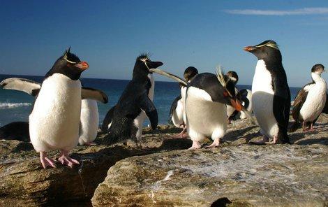 Tučňák skalní je plavecký vytrvalec.
