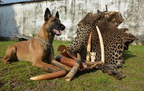 Cama v Kongu odvážně bojovala s pytláky a překupníky slonoviny.