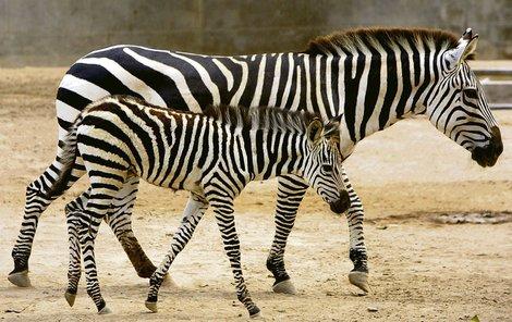 Zebra do 100 tisíc!