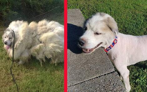 Lazarus připomínal spíše ovci. Nyní konečně vypadá jako pes!