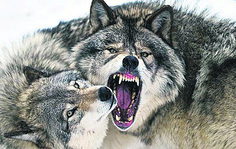 Vlci se do Krušných hor vrátili po téměř 200 letech.