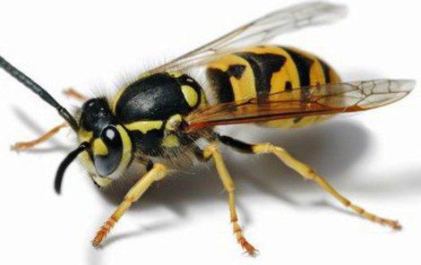 Alergika napadl v hustém lese vosí roj.
