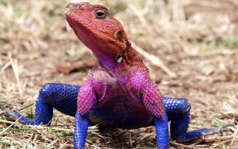 V Keni byla spatřena takto zbarvená ještěrka.