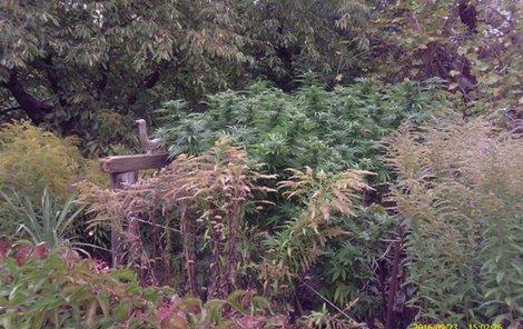 """Na pěstírnu marihuany přišli strážníci """"po čuchu""""."""