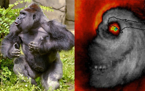 Vlevo Harambe, jak vypadal ve skutečnosti, vpravo Harambe, jak se měl zjevil v hurikánu.
