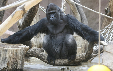 Richard dokáže nejen s gorilami, ale také s lidmi komunikovat očima a mimikou ve tváři.
