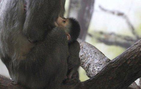 Malá opička se stala vánočním dárkem.