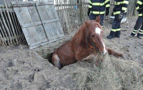 Kobyla byla zabořená v jímce do půli těla.