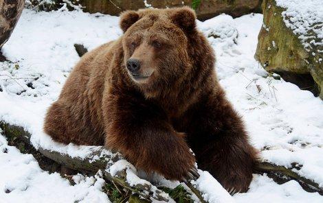 Urostlí američtí medvědi se letos sněhu vyhýbají.