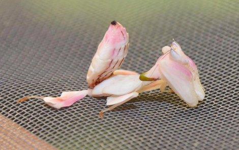 Kudlanka orchidejová je nejnovějším přírůstkem olomoucké zoo.