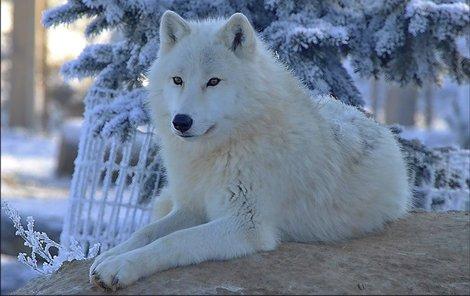 Tomuhle krásnému vlkovi jen tak zima nebude!