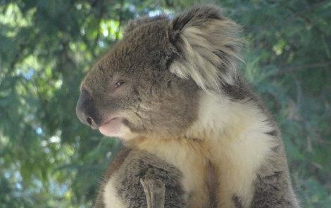 Medvídek koala Míšu dostal!