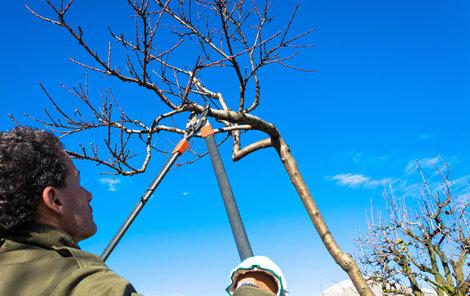 Druh řezu je v závislosti na stáří stromu.