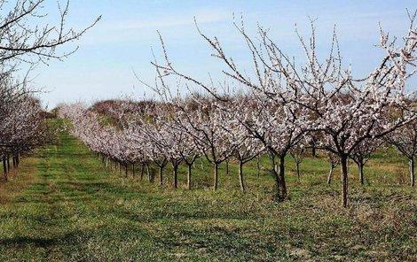 Meruňkové sady ve Velkých Pavlovicích na Břeclavsku rozkvetly letos mimořádně brzy.