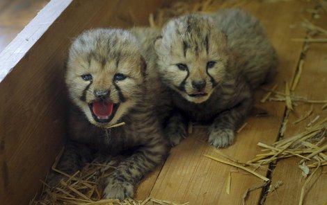 Gepardím klukům koukají z očí všichni čerti. Jak trochu vyrostou, máma je neuhlídá.