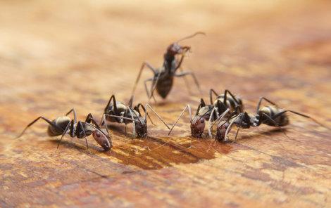 Mravenci, nevítaná návštěva.